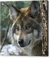 Wolf Upclose Acrylic Print