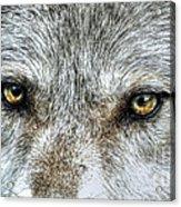 Wolf Wisdom Acrylic Print