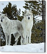 Wolves - Partners Acrylic Print