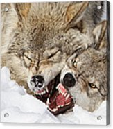 Wolves Rules Acrylic Print