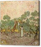 Women Picking Olives Acrylic Print