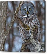 Wonderful Great Gray Acrylic Print