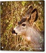 Wondering Deer Acrylic Print by Kimberly Maiden