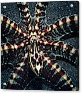 Wonderpus Octopus Acrylic Print