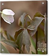 Wood Anemone Wildflower - Anemone Quinquefolia L.  Acrylic Print