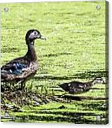 Wood Duck And Baby Acrylic Print