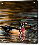 Wood Duck At Morning Acrylic Print