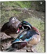 Wood Duck Couples Acrylic Print