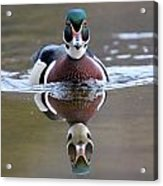 Wood Duck Drake Frontal Acrylic Print