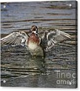 Wood Duck Drake Wing Flap Acrylic Print
