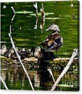 Wood Duck Family Acrylic Print