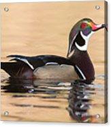 Wood Duck I Acrylic Print