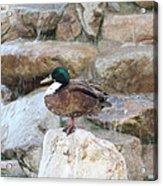 Wood Duck On Fountain Acrylic Print