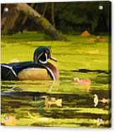 Wood Duck On Pond    Acrylic Print