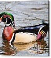Wood Duck Profile Acrylic Print