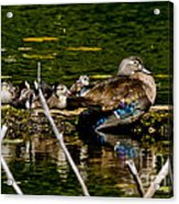 Wood Duck Rest Time Acrylic Print