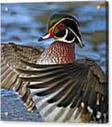 Wood Duck Standing Ovation Acrylic Print