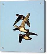 Wood Duck Trio Flight Acrylic Print