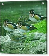 Wood Ducks Hanging Out Acrylic Print