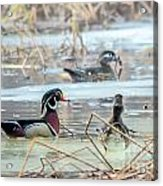 Wood Ducks In The Mist Acrylic Print