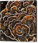 Wood Fungus Acrylic Print