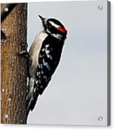 Wood Pecker Acrylic Print