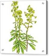 Wood Spurge (euphorbia Amygdaloides) Acrylic Print