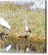 Wood Stork And Ibis And Heron Acrylic Print