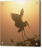 Wood Stork Collecting Nesting Material Acrylic Print