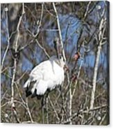 Wood Stork In A Tree Acrylic Print