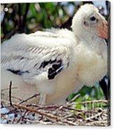 Wood Stork Nestling Acrylic Print