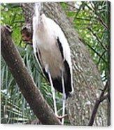 Wood Stork On A Limp Acrylic Print