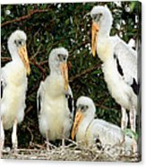 Wood Stork Young In Nest Acrylic Print