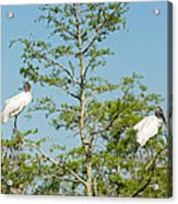 Wood Storks In The Everglades Acrylic Print