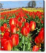 Woodburn Tulip Fields Acrylic Print