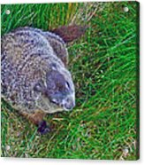 Woodchuck In Salmonier Nature Park-nl Acrylic Print