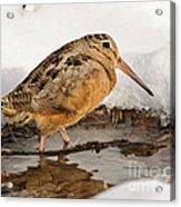 Woodcock In Winter Acrylic Print