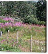 Wooden Fence And Pink Fireweed In Norway Acrylic Print
