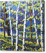 Woodland Birches Acrylic Print