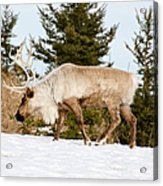 Woodland Caribou Acrylic Print
