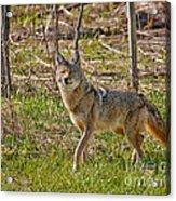 Woodland Coyote Acrylic Print