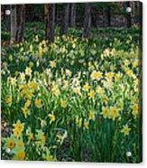 Woodland Daffodils Acrylic Print by Bill Wakeley