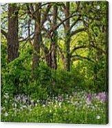 Woodland Phlox 2 Acrylic Print