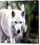 Woodland White Wolf 2 Acrylic Print