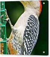 Woodpecker 106 Acrylic Print