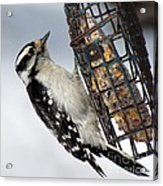 Woodpecker At Suet Iv Acrylic Print