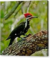 Woodpecker On A Limb Acrylic Print