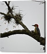 Woodpecker On Lookout Acrylic Print