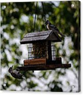 Woodpeckers At Dinner Acrylic Print