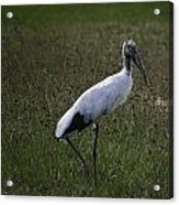 Woodstork In Field Acrylic Print